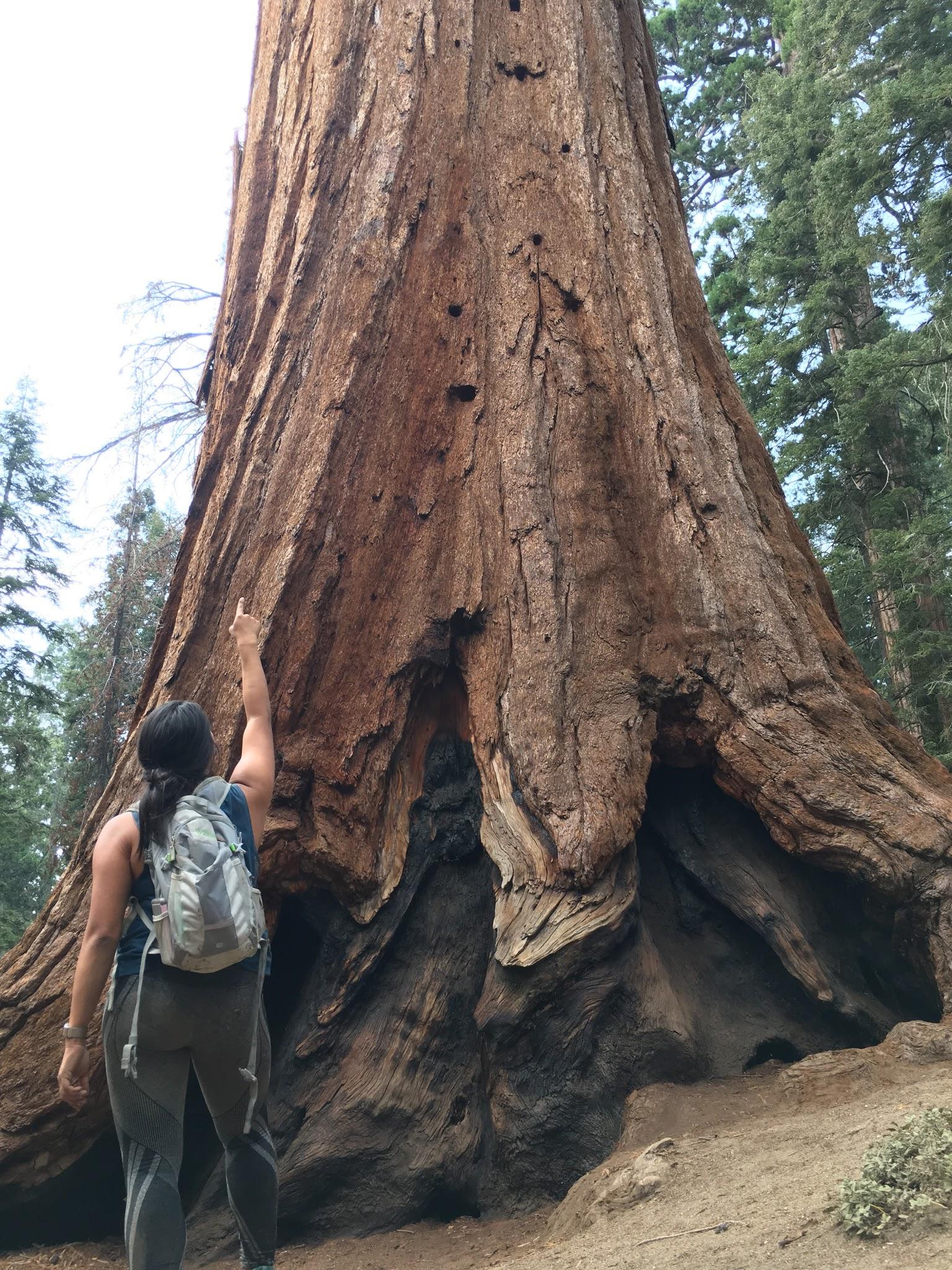 Sequoia Grant Tree